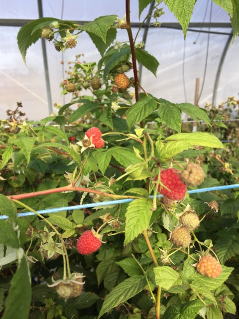 Raspberries growing under net high tunnels